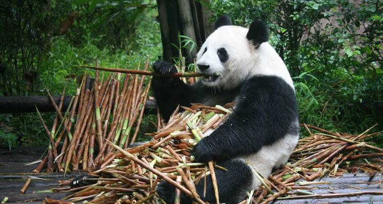 china Panda Tour